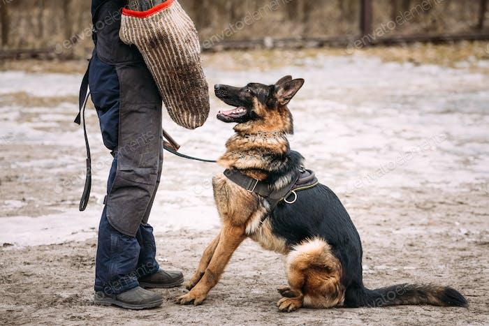 Entrenamiento de perro pastor alemán. Perro lobo alsaciano. Deutscher, perro.