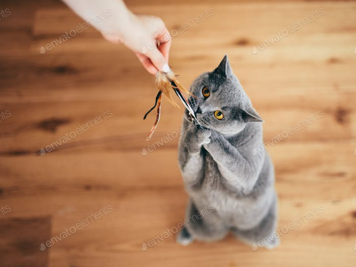 Cute British cat playing with rod toy held by a woman hand.
