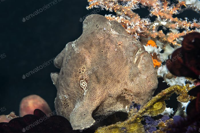 Brown Frogfish on Reef