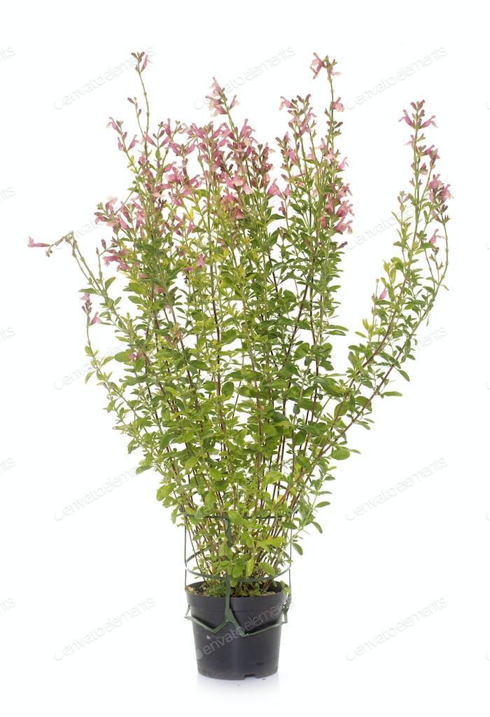 Salvia microphylla in studio