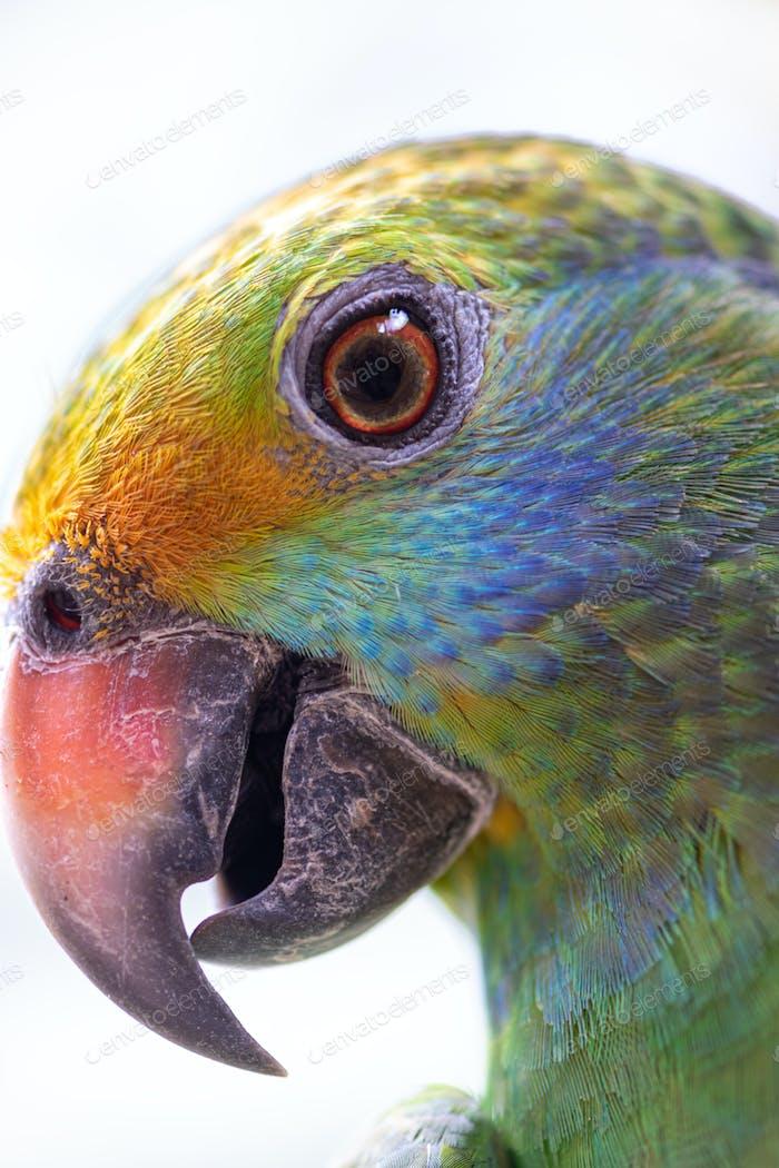 Blue cheeked amazon Parrot Amazona dufresniana