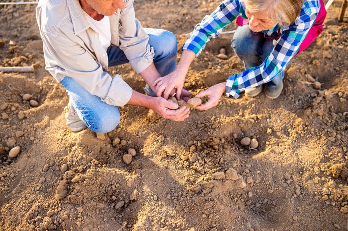 Close up, unrecognizable senior couple planting potatoes in row