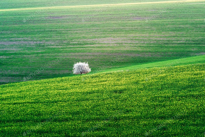 Rural landscape with green field and blossom tree