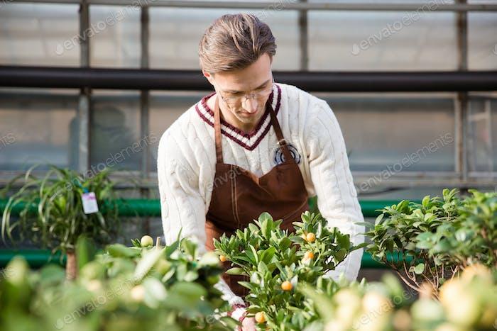 Mann Gärtner kümmert sich um kleine Bäume im Gewächshaus