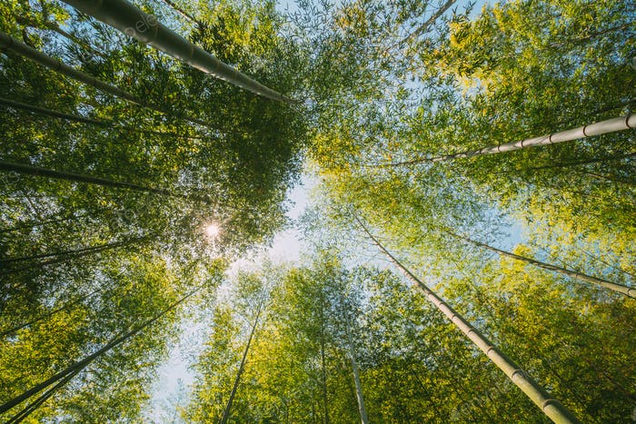 Spring Sun Shining Through Canopy Of Tall Trees Bamboo Woods. Sunlight In Tropical Forest, Summer