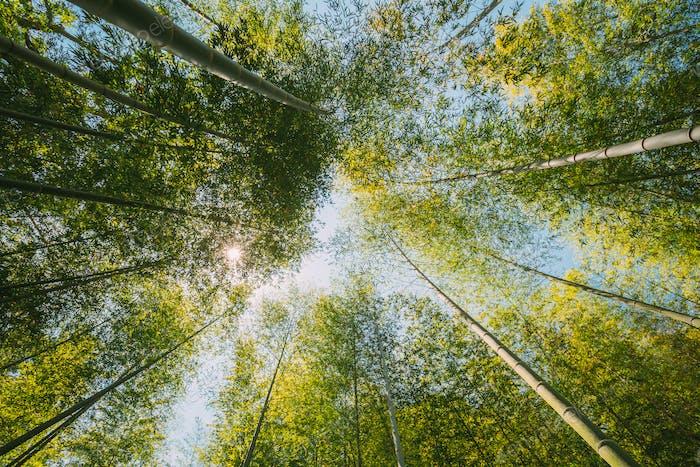 Frühlingssonne scheint durch Baldachin von hohen Bäumen Bambushölzern. Sonnenlicht Im Tropenwald, Sommer