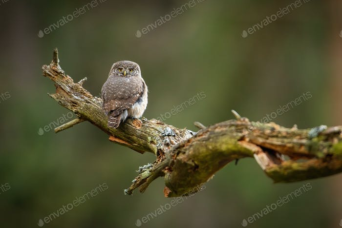 Eurasian pygmy owl sitting on old tree with copy space