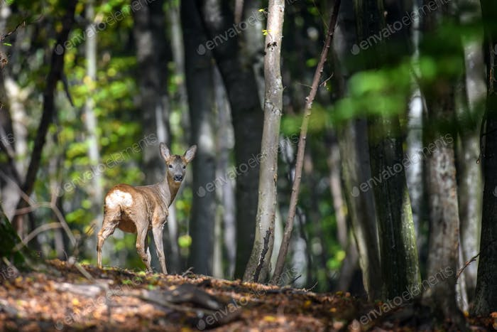 Young majestic red deer stag in Autumn Fall
