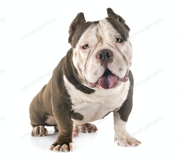 american bully in studio