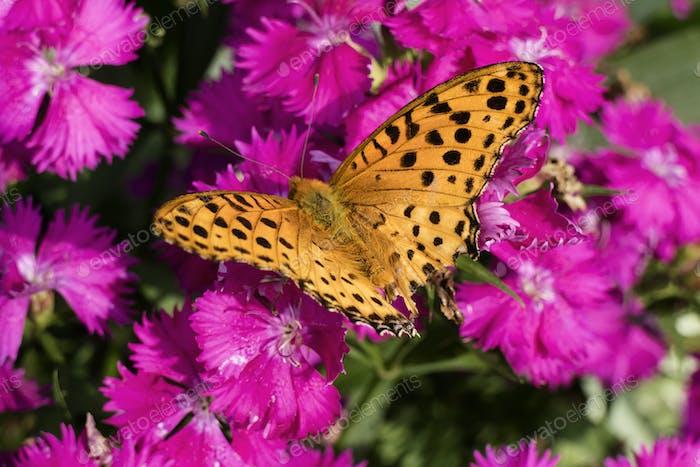 Orange Comma butterfly on pink flowers