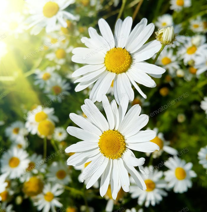 Close up of beautiful daisies lit by sunlight