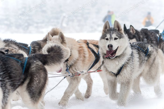 Dog sled with husky dogs