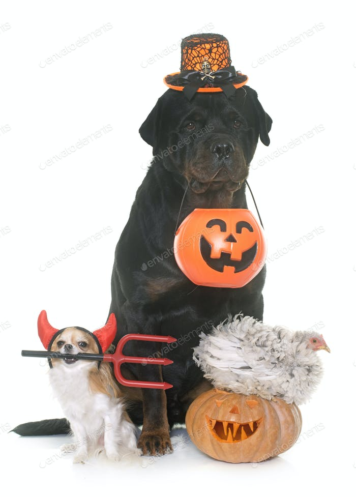 pets and pumpkin of halloween