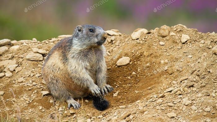 Lovely alpine marmot sitting near den in Low Tatras national park
