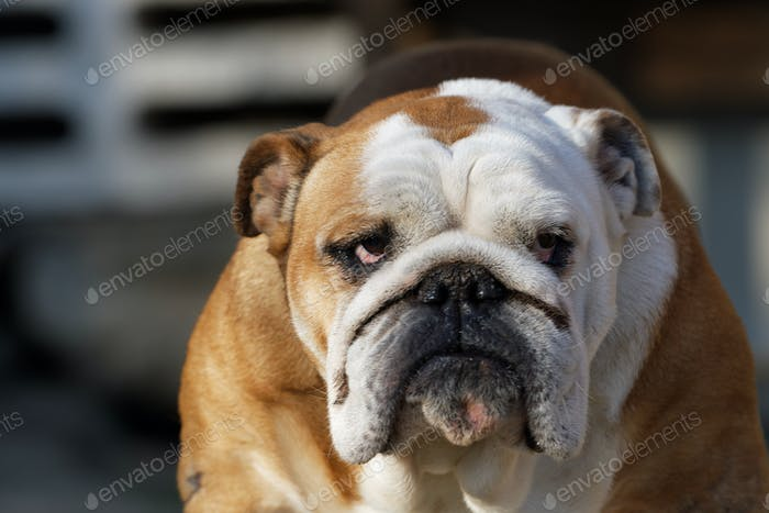 Portrait of the english bulldog