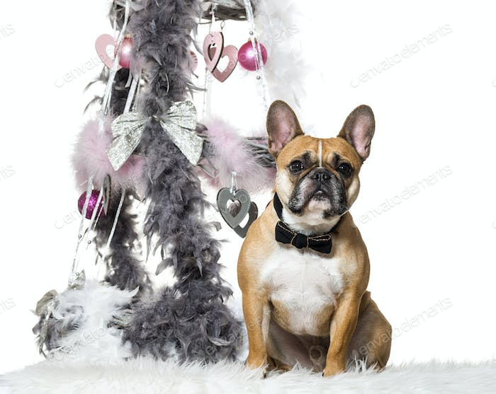 French Bulldog in bow tie sitting next to Christmas decoration against white background