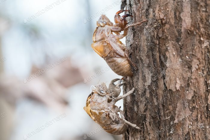 two cicada slough holding in the tree
