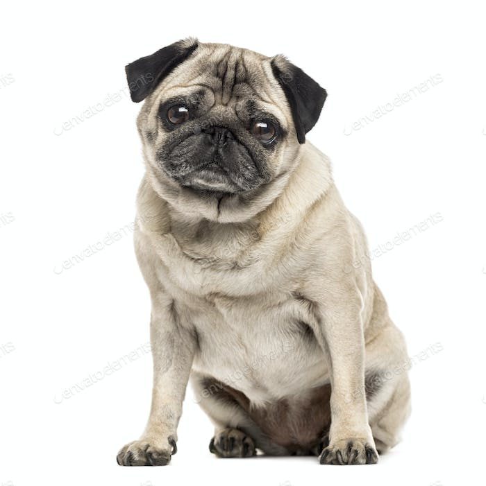 Pug sitting, 6 years old , isolated on white
