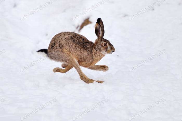 The European hare (Lepus europaeus) running on the snow covered
