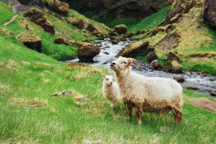 The Icelandic sheep. Fantastic views waterfall in the national park