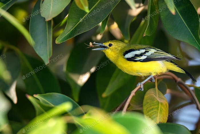 Beautiful common iora or Aegithina tiphia