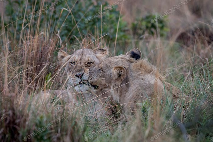 Two Lions bonding in the high grass.