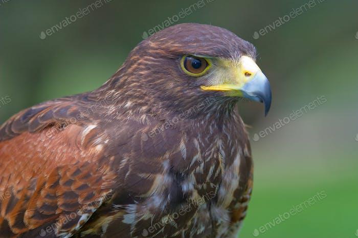 Harris's falcon ( Parabuteo unicintus )