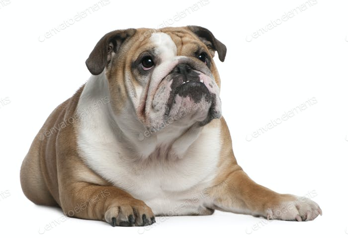 English Bulldog puppy, 10 months old, lying in front of white background