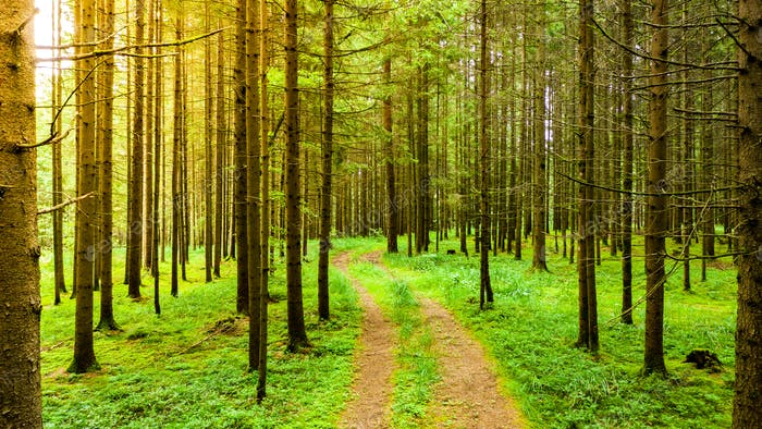 Path through Styrian forest in summer