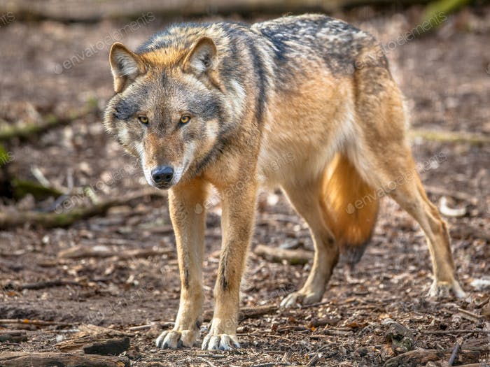 Frowning Grey Wolf standing