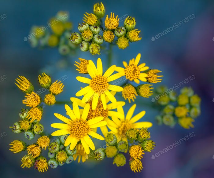 Jacobaea vulgaris or Ragwort Close up Wallpaper on Green and Pur