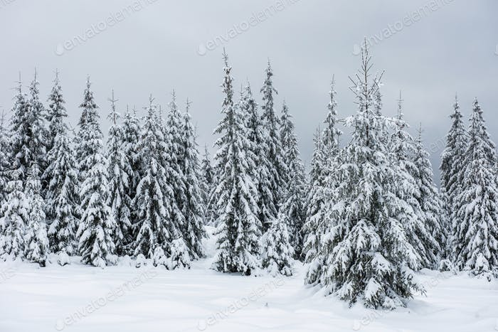 Christmas background with snowy fir trees. Amazing winter landscape