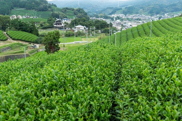 Grüntee-Plantage terrassenförmig