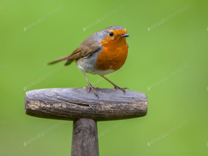 Robin perched on handle