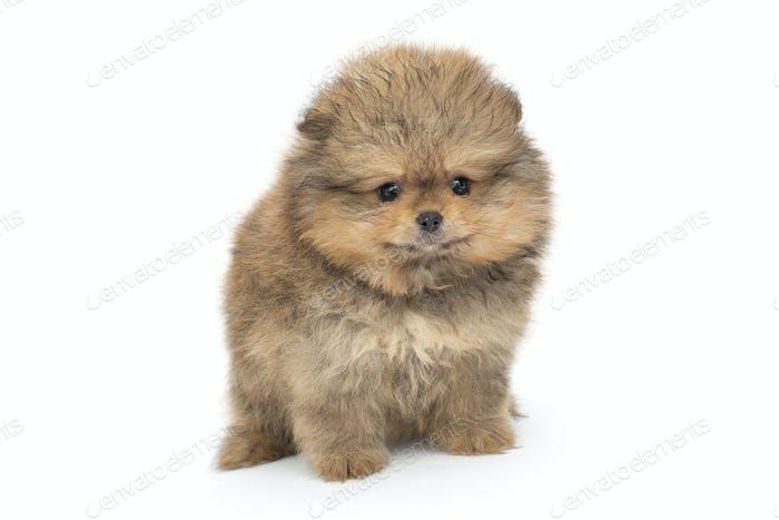 Small  Pomeranian puppy