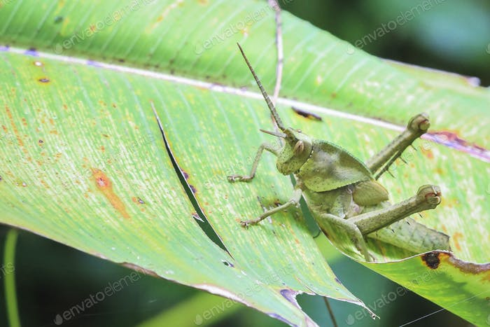 Long Horned Grasshopper in Costa Rica