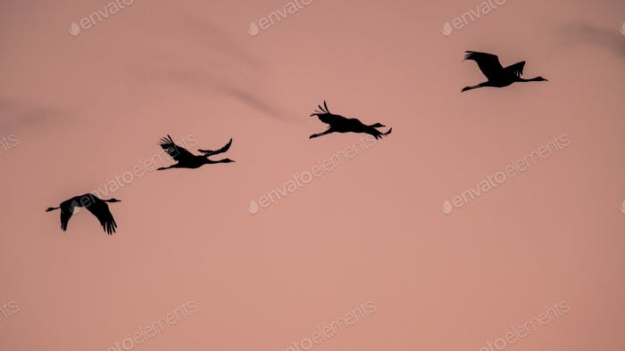 Four Migrating Eurasian Cranes flying against pink sky