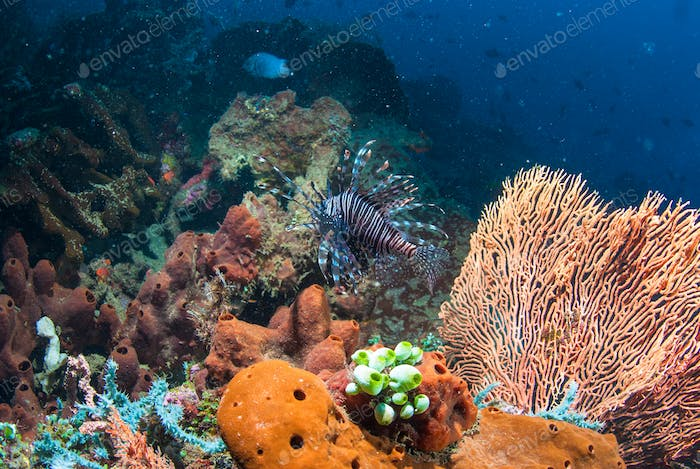 Lionfish in Bali