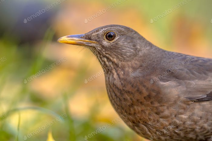 Female blackbird autumnal headshot