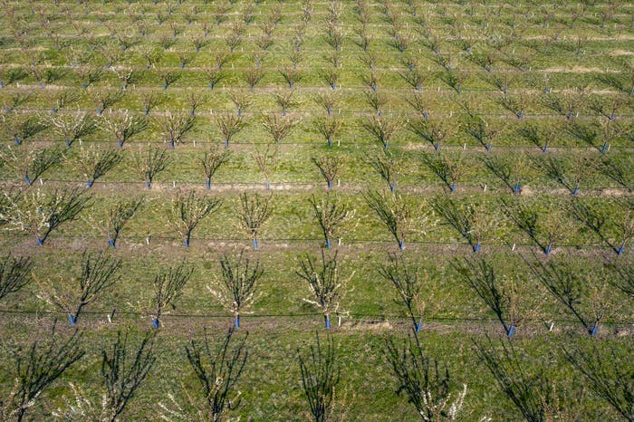 Top view of a spring orchard