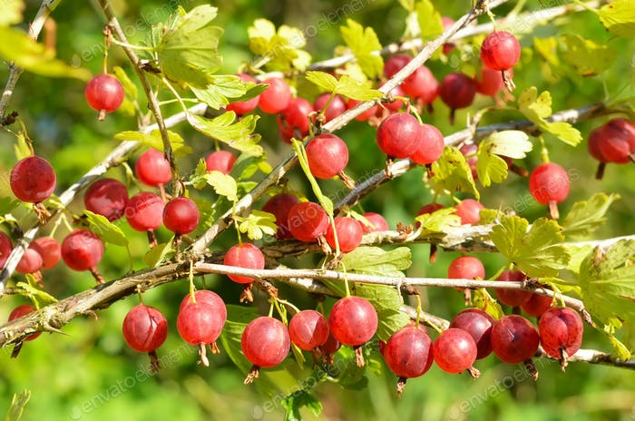 Red gooseberries on branches