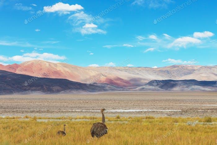 Strauß in Patagonien