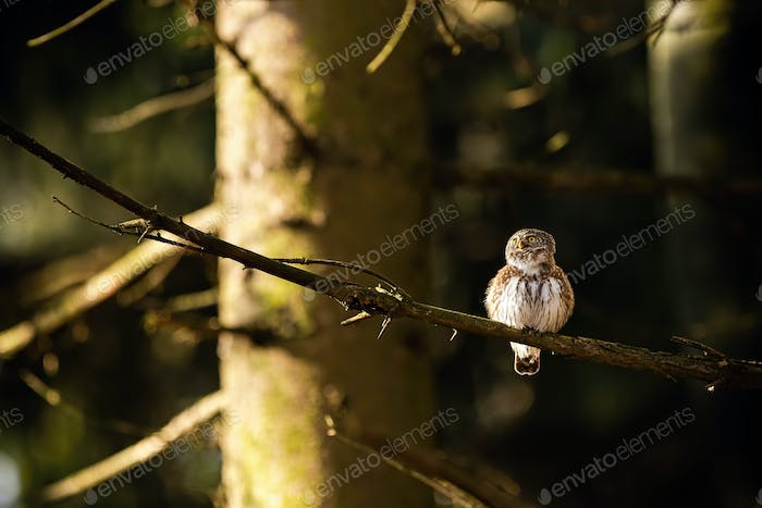 Small eurasian pygmy owl sitting on a branch in forest at sunrise