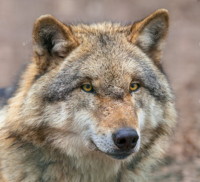 Close up of head of Dangerous Grey Wolf