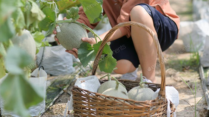 Female farmers are harvesting melon in the garden to send customers.