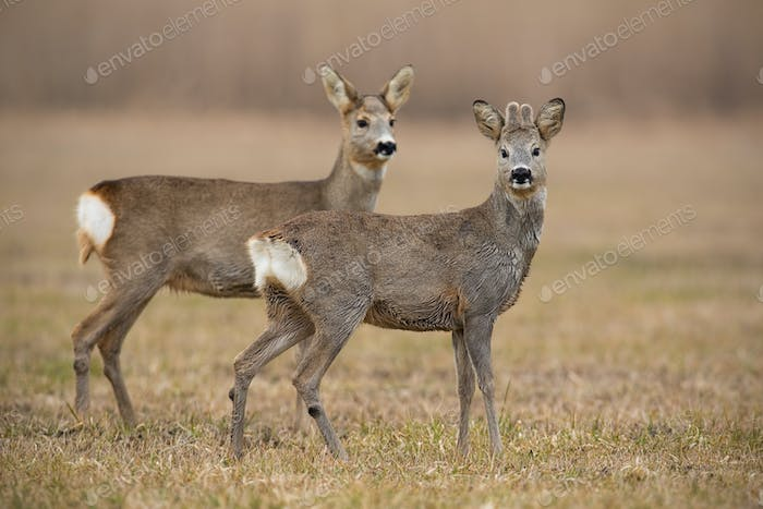 Roe deer, capreolus capreolus, in spring with dry grass blurred in background