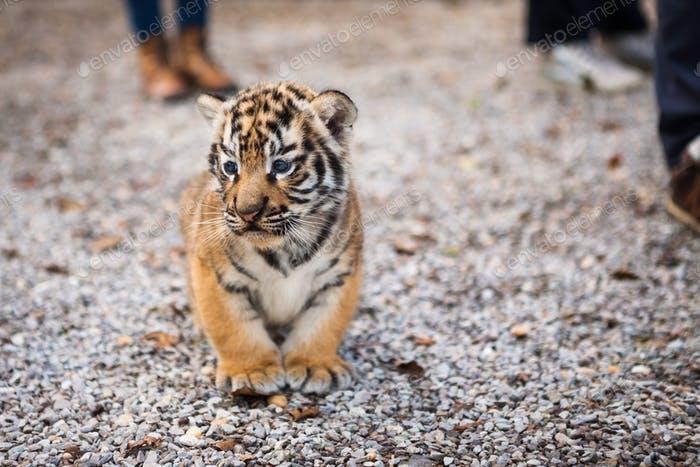 Walk with a baby tiger