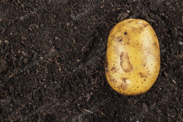 Fresh Potato On The Ground