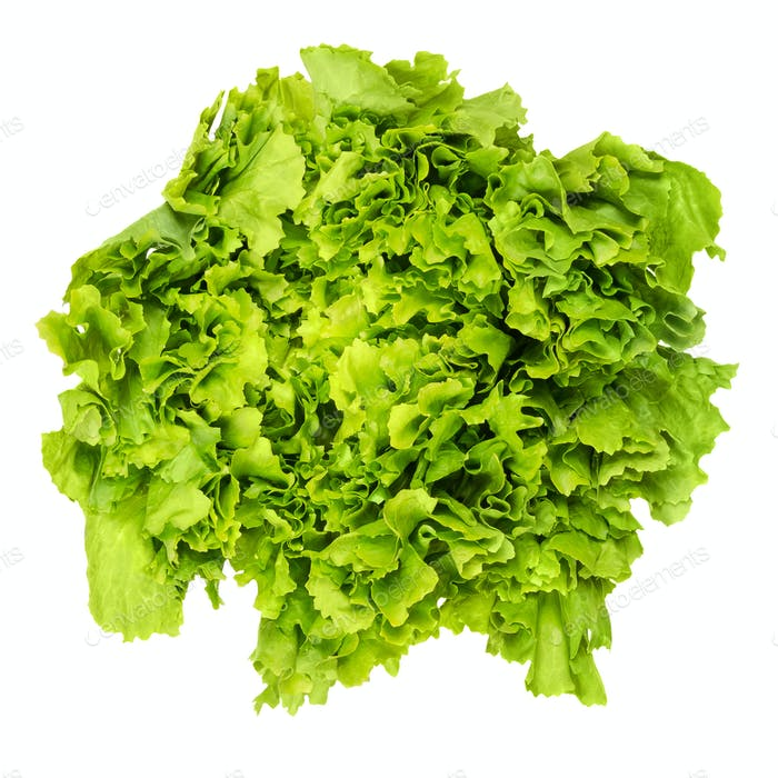 Escarole endive lettuce head from above over white
