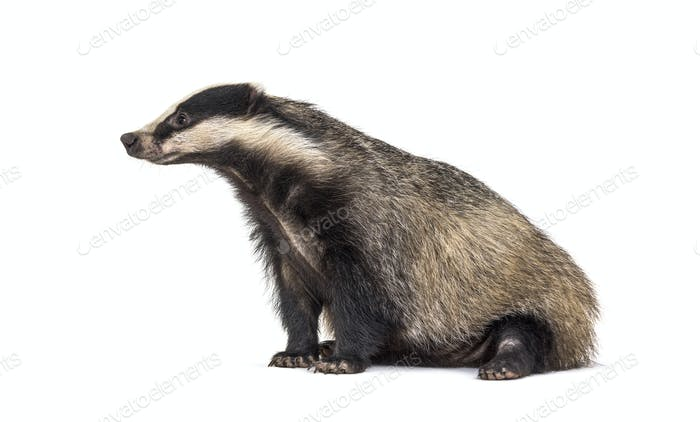 side view European badger, six months old